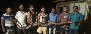 Python Snake found near the Bungalow of Superstar actor Dharmendra Deol - The Wall Post