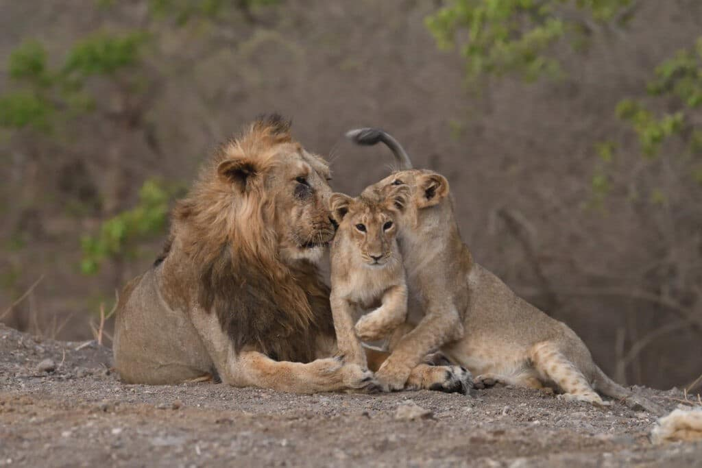 Population of Asiatic Lions is up to 29%: Gir Forest - The Wall Post